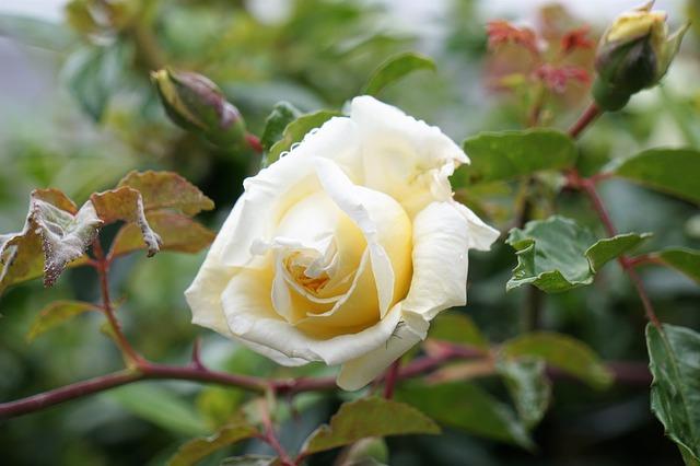 Il giallo delle Rose